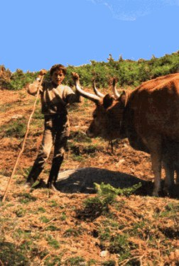 National Park - Peneda - boy with cattle